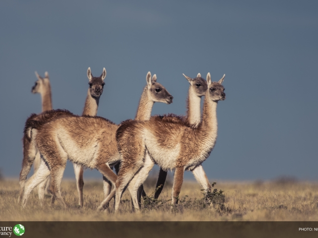 5 alpaca type animals on grasslands