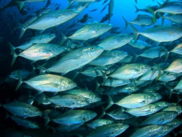 silver fish in blue ocean